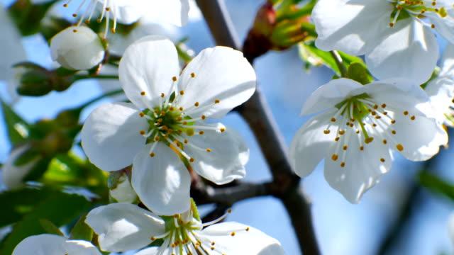 cherry blossom tree branch 4k flowers blue sky summer season beautiful video