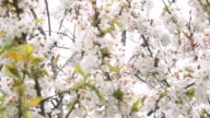 Cherry Blossom Tree with White Flowers in Springtime video