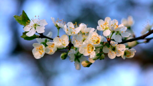Cherry blossom twig with white petals, yellow stamens and new green leaves, waving in the spring wind on very blur background. video