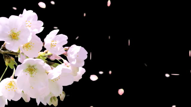 cherry blossom video