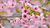 Cherry blossom video
