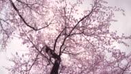 cherry blossom  -walk- -4K- video