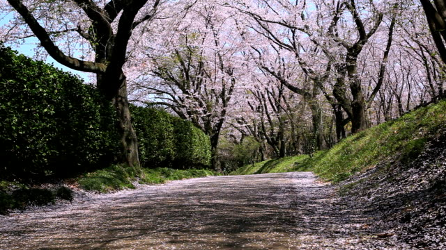 Cherry blossoms along a road video