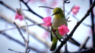 Cherry blossoms and birds video