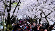 Cherry blossoms bloom in Taihu Lake in Wuxi video