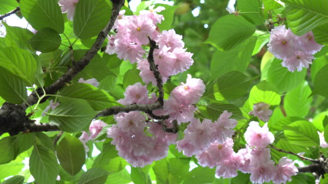 cherry blossoms close-up video