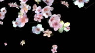 Cherry Blossoms Falling | HD video