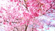 Cherry blossoms flew by the wind video