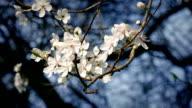 Cherry Blossoms In Gentle Breeze video