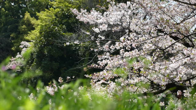 Cherry Blossoms in Japan video