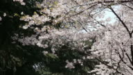 Cherry blossoms in mountain video