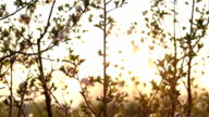 Cherry Blossoms in sunset video