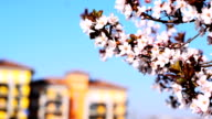 Cherry blossoms in the city video