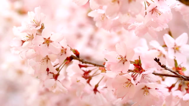 Cherry blossoms in the wind. video