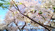 Cherry Blossoms in Washington DC video