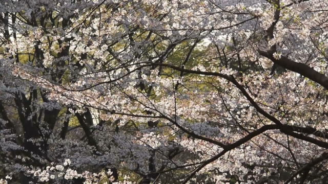 Cherry blossoms: inside woods video