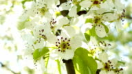 Cherry blossoms on sun 2 video