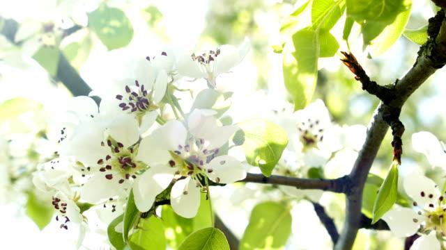 Cherry blossoms on sun video