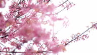 cherry blossoms or sakura flower in spring season video