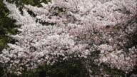 Cherry blossoms: Shower of flower petals video