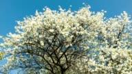 Cherry blossoms tree video