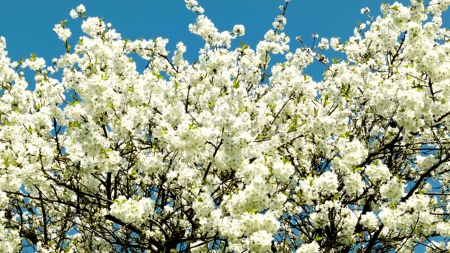Cherry blossoms tree zoom video