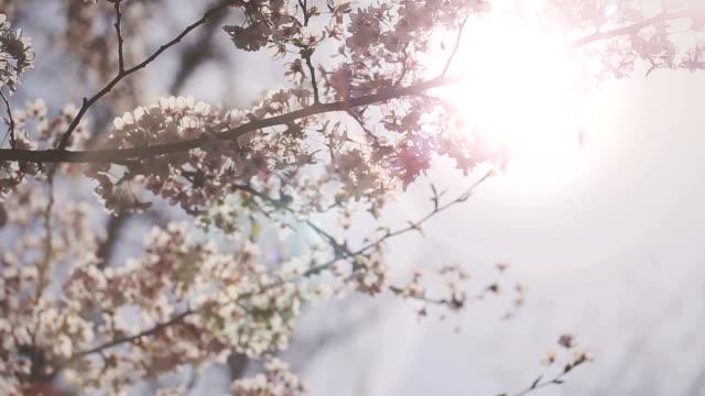 HD: Cherry Blossoms video