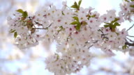 Cherry blossoms: white flowers swing in wind video