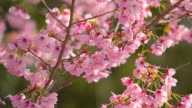 Cherry blossoms,in Showa Kinen Park,Tokyo,Japan video