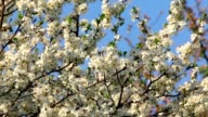 Cherry branch with white blossom and new tiny green leaves, trembling in the spring light wind on blue sky background. video