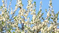 Cherry branch with white blossom and new tiny green leaves, waving in the spring wind on blue sky background. video