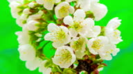 Cherry flower blooming against green background in a time lapse movie. Prunus avium growing in moving time lapse. video