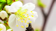 Cherry flower blooming in a time lapse video