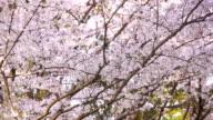 Cherry flower petals fall as if snow video
