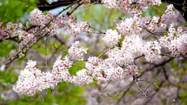 Cherry flowers and falling petals in wind video
