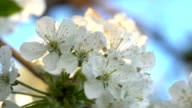 Cherry flowers at sunset video