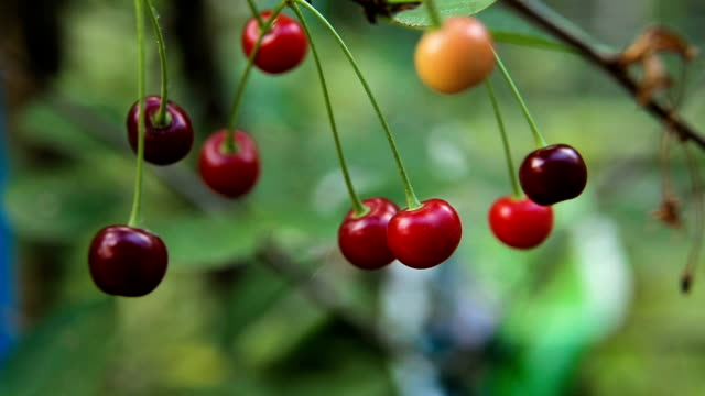 Cherry fruit on the branch video
