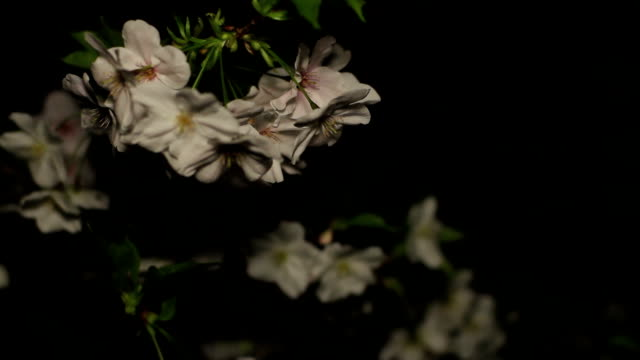 Cherry night ver close up shallow focus at Inokashira park video