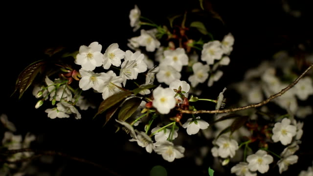 Cherry night version close shot mild wind at Inokashira park video
