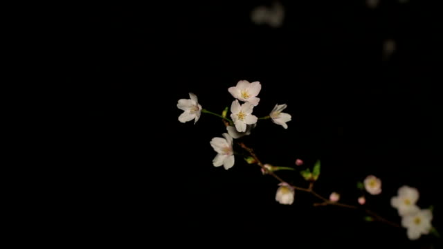 Cherry night version close up mild wind at Inokashira park video
