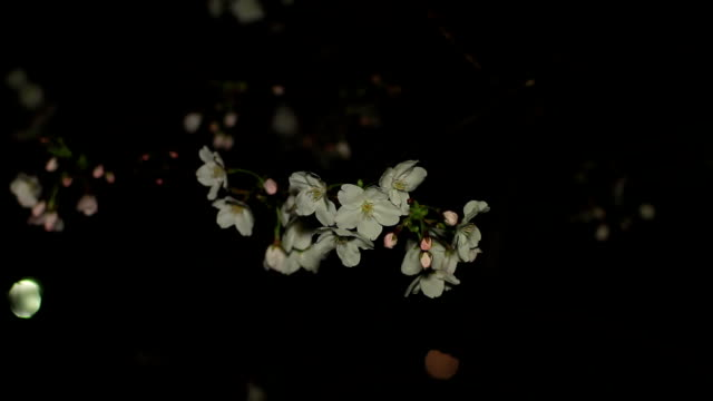 Cherry night version close up shallow focus at Inokashira park video