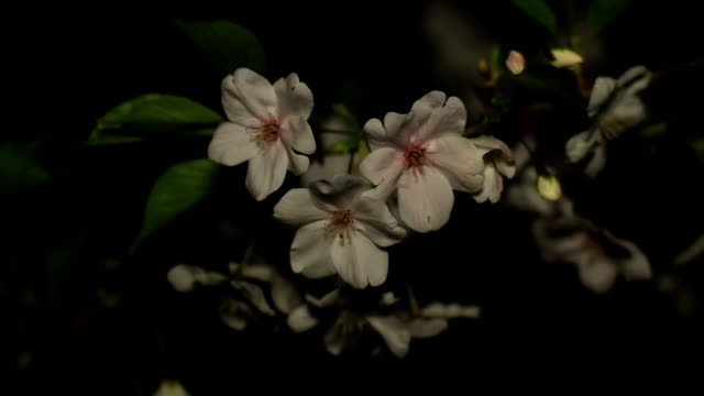 Cherry night version close up soft focus at Inokashira park video
