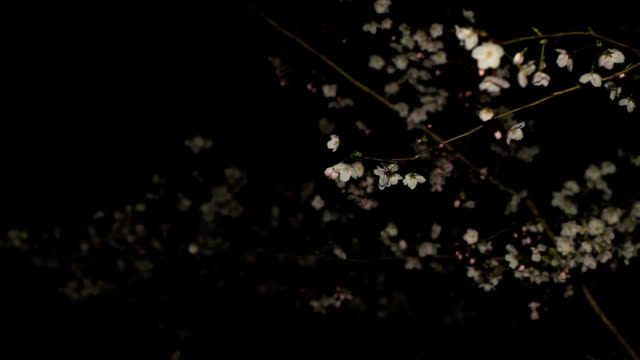 Cherry night version middle shot soft focus at Inokashira park video