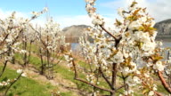 Cherry Orchard Blossoms, Osoyoos, Camera Move video