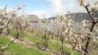 Cherry Orchard Blossoms, Osoyoos video