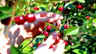 Cherry orchard video