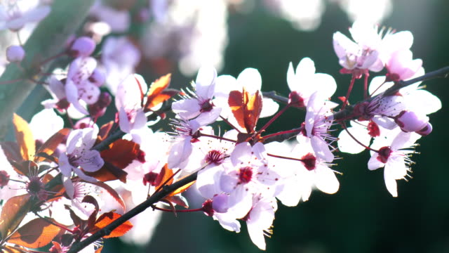 Cherry pink trees blossoms during sunset video
