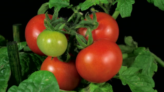 Cherry tomatoes ripenning 4k video