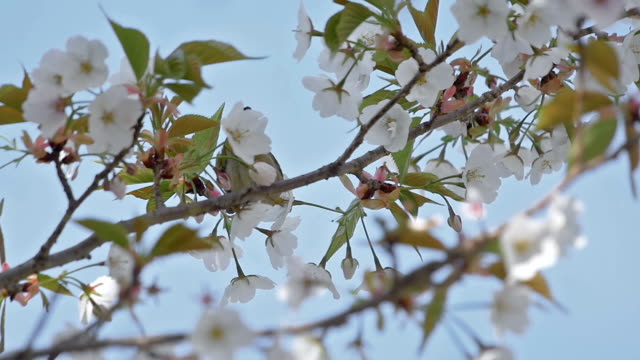 Cherry tree and little bird in spring video