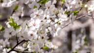 Cherry tree blooms in early May. video